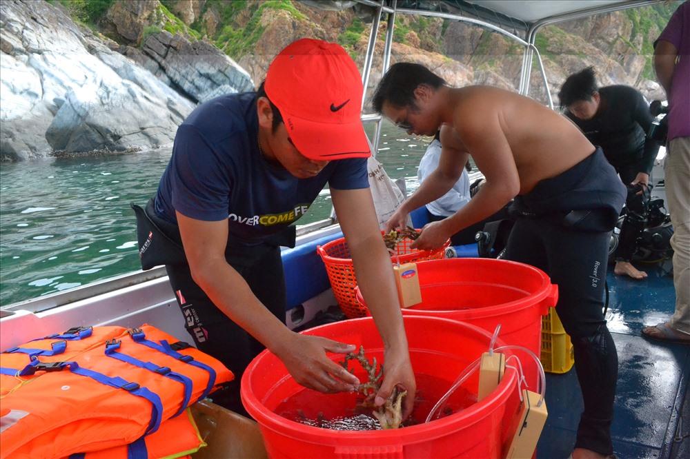 San hô được tìm thấy sẽ được đem đi phục hồi ở khu vực phía Bắc đảo Hòn Mun. Ảnh: Châu Tường