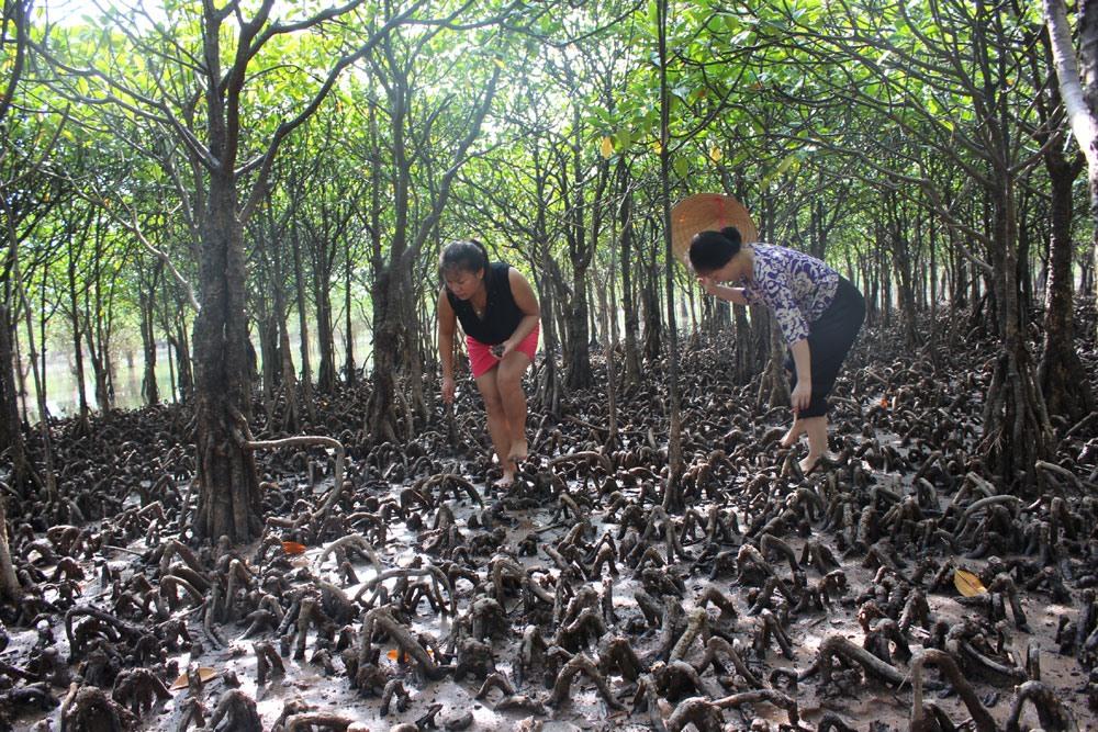 Một góc rừng ngập mặn Đồng Rui. Rừng được phân bố phân tầng rõ rệt, với các loại cây ngập mặn, như: sú, vẹt, đước, trang, mắm, ráng… Trong đó, rừng tự nhiên – khoảng 2.400 ha – có những cây đước và vẹt trên cả trăm năm tuổi. Ảnh: Nguyễn Hùng