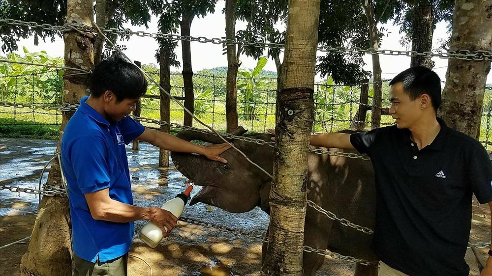 Chú voi con tên Gold bị lạc mẹ được nhân viên Trung tâm bảo tồn voi chăm sóc từ nhỏ.