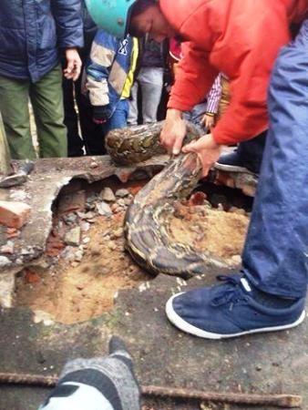 Chiều 25.1.2016, người dân thị trấn Yên Mỹ (huyện Yên Mỹ, Hưng Yên) phát hiện con trăn đang cố chui vào ngôi mộ tại nghĩa trang nhân dân thị trấn và bị mắc kẹt do phần thân sau quá lớn.