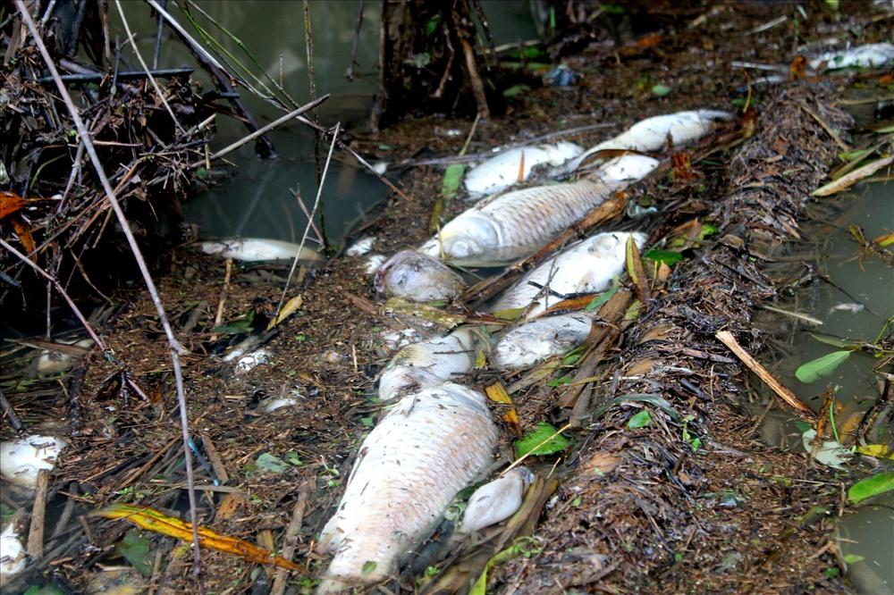 các loại cá như rô phi, cá chép, lươn và nhiều loại cá nhỏ khác... nổi la liệt 2 bên bờ sông. Ảnh: T.H