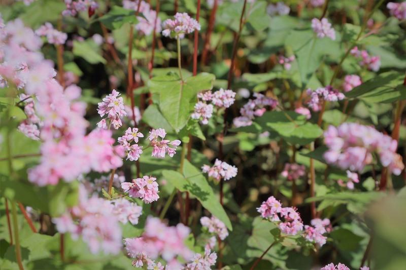 Hoa tam giác mạch. Ảnh: N.N