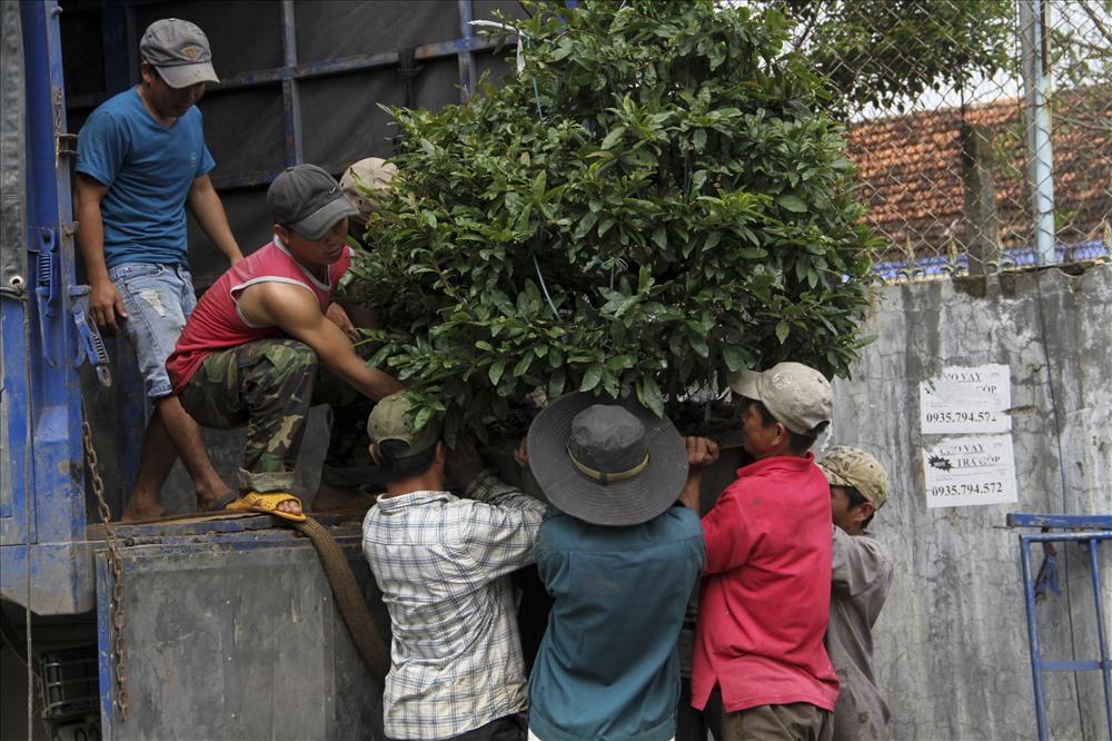 Để trồng được một chậu mai, người dân phải mất từ 4 - 7 năm mới có được một chậu cây lớn, ưng ý cho khách hàng.