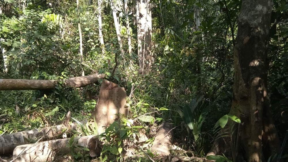 Trong rừng, những thân cây gỗ bị cưa hạ còn nằm lại, đối tượng phá rừng chưa kịp lấy gỗ. Ảnh: N.H
