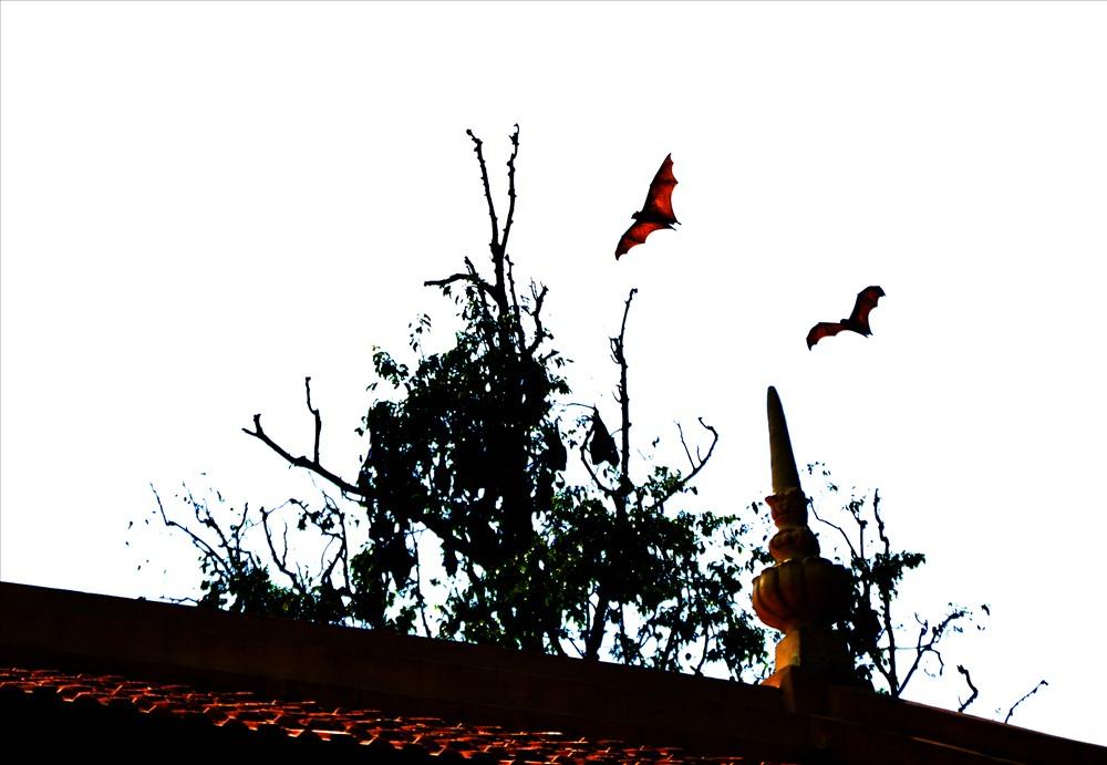Dơi quạ trú ngay cây bên nóc chùa. Ảnh: Lục Tùng