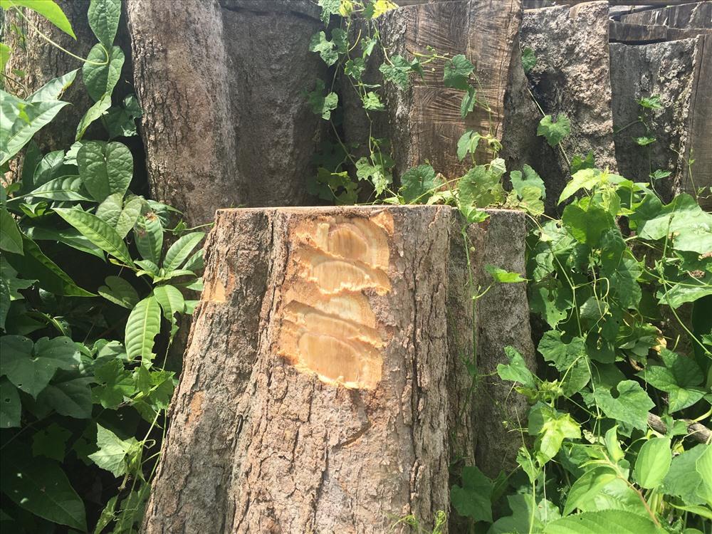 Cận cảnh một gốc cây rừng cổ thụ bị phá cưa hạ, gốc vẫn còn  tươi. Ảnh: H.H