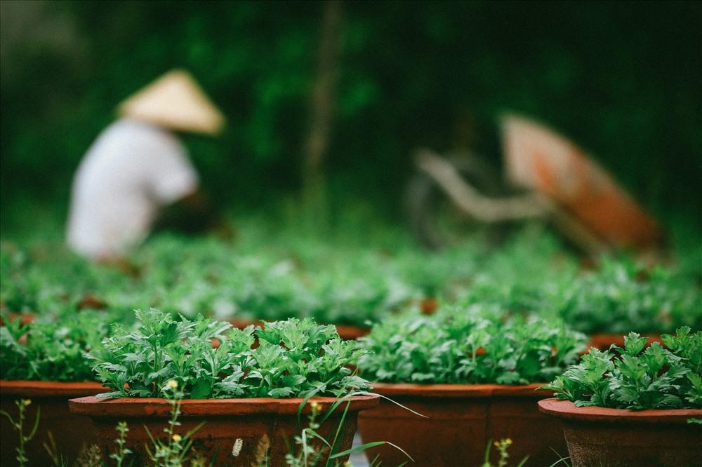 Ông Y cho hay, vụ Tết Kỷ Hợi năm nay, ông trồng 800 chậu hoa cúc các loại. Kinh phí bỏ ra hàng chục triệu đồng cho vụ hoa Tết.