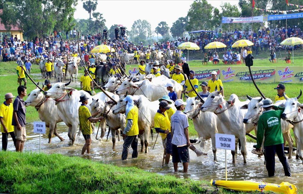 Có 64 đôi bò vượt qua vòng loại từ các địa phương về tranh tài. Ảnh: Lục Tùng