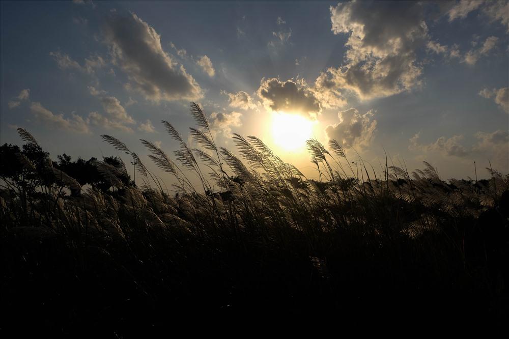 Cánh đồng cỏ lau tuyệt đẹp trong nắng chiều.