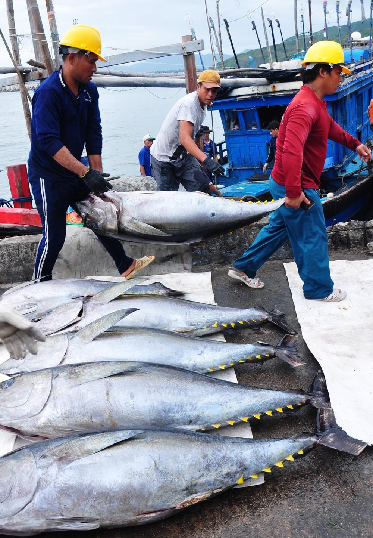 Nguồn cung trong nước không đủ, nhiều DN phaiủ nhập khẩu cá ngừ về chế biết xuất khẩu