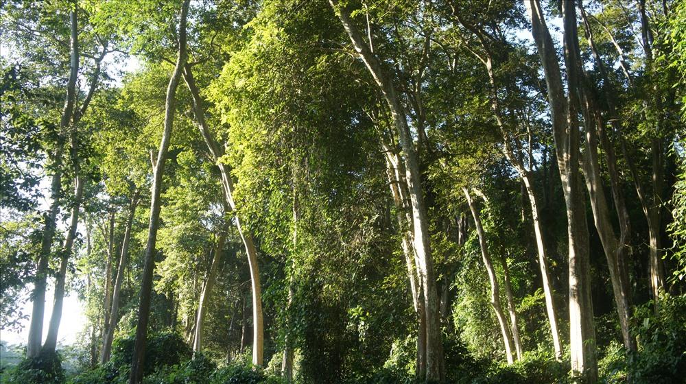 Rừng săng lẻ nổi tiếng nằm ở vườn quốc gia Pù Mát, bất kể mùa nào trong năm, người lữ hành vẫn có thể tìm đến đây để hòa nhịp cùng 'thung lũng xanh' thuần khiết của xứ Nghệ.