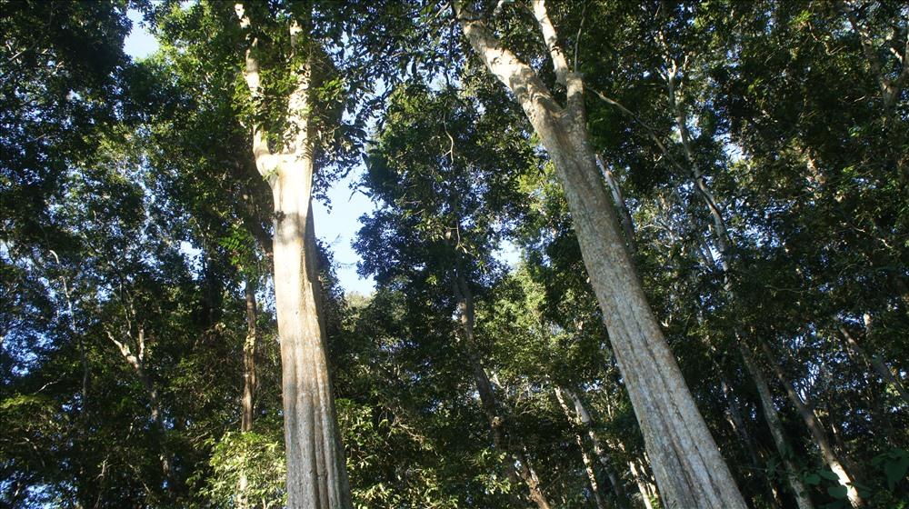 Đi qua tuyến Quốc Lộ 7, theo hướng huyện Con Cuông – Tương Dương, đến Tam Đình, chúng tôi bắt gặp rừng săng lẻ với những thân cây cao đến 40m đang 'dang rộng cánh tay' chào đón mình, những thân cây to, màu trắng cao vút cứ thế, không gian êm ả từ từ hiện lên trước mắt, đẹp đến ngỡ ngàng