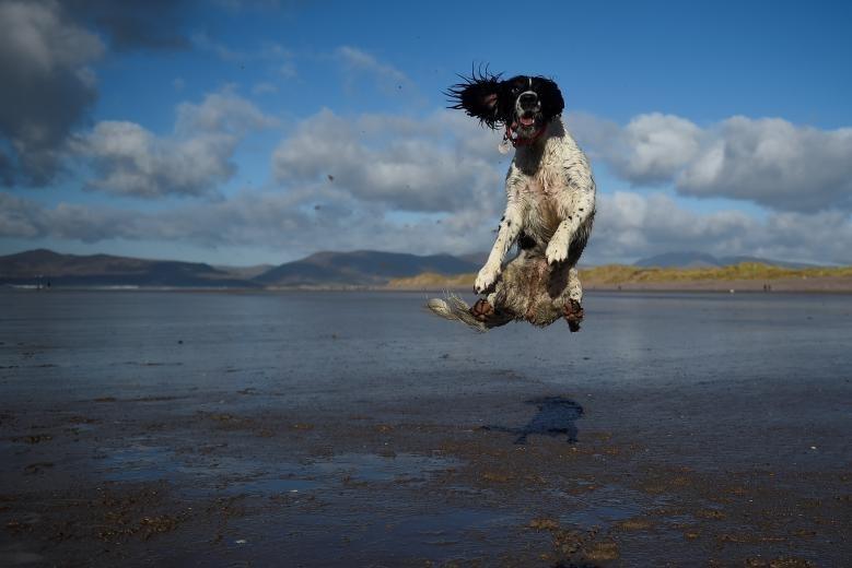 Một chú chó nhảy lên không trung để bắt bóng trên bãi biển của Ireland.