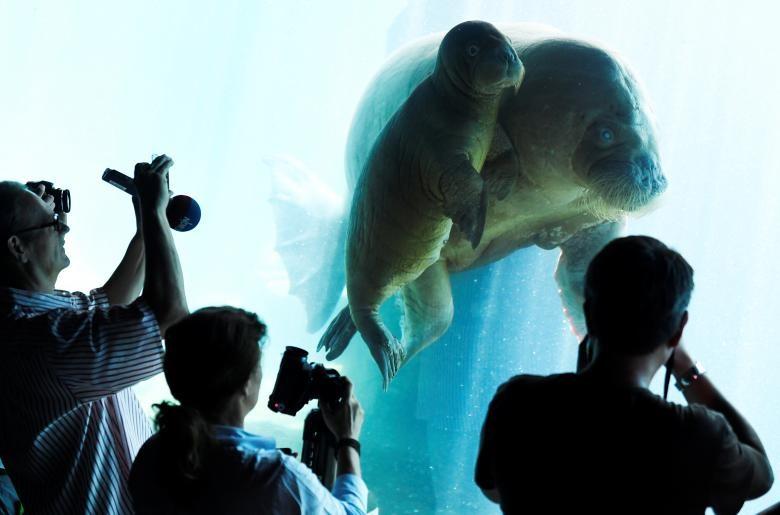 Mẹ con chú hải mã Dyna quấn quýt bên nhau ở công viên Hagenbeck, Hamburg, Đức.