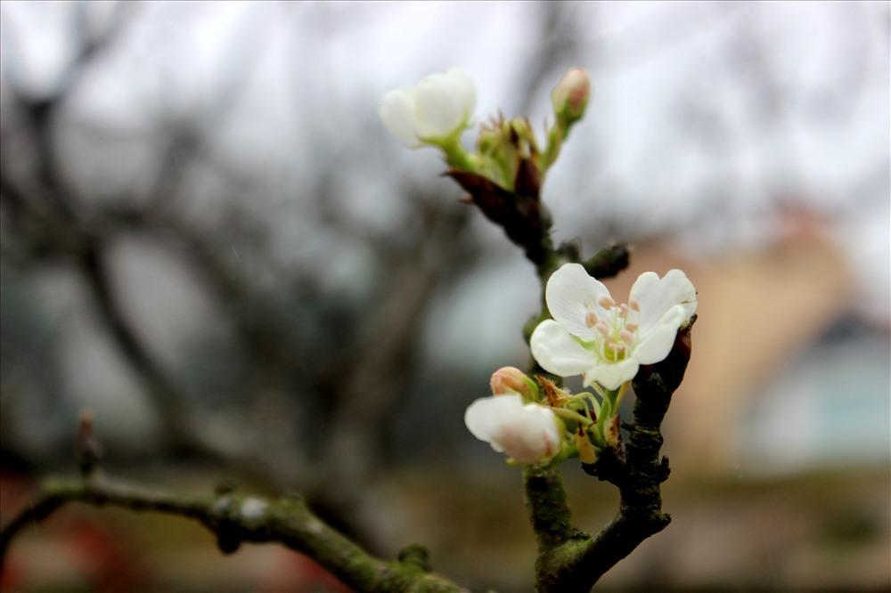 """Nếu như hoa đào để """"chơi"""" trong Tết Nguyên đán thì người Hà Nội thường lựa chọn cành hoa lê tô điểm cho gia đình vào dịp sau Tết."""
