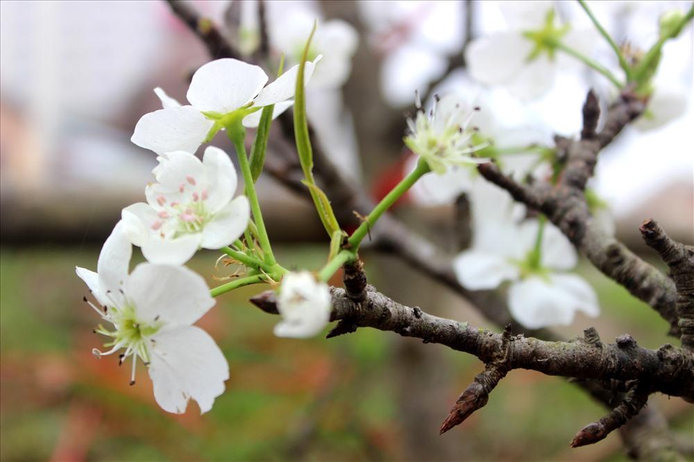 Bông hoa trắng muốt bung nở từ những cành cây khẳng khiu tạo nên một nét riêng độc đáo cho loài hoa vùng sơn cước, chỉ đơn giản vậy thôi mà hút hồn người chơi hoa Hà Nội.