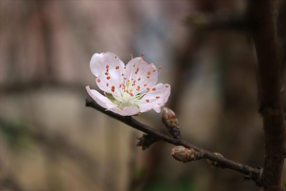 Hoa của đào rừng bao giờ cũng có nụ rất to, màu hồng nhạt, khi nở cánh đào rắn chắc, lâu phai. Chính vì điều này mà nhiều người ưa thích và lựa chọn đào rừng về chơi Tết.