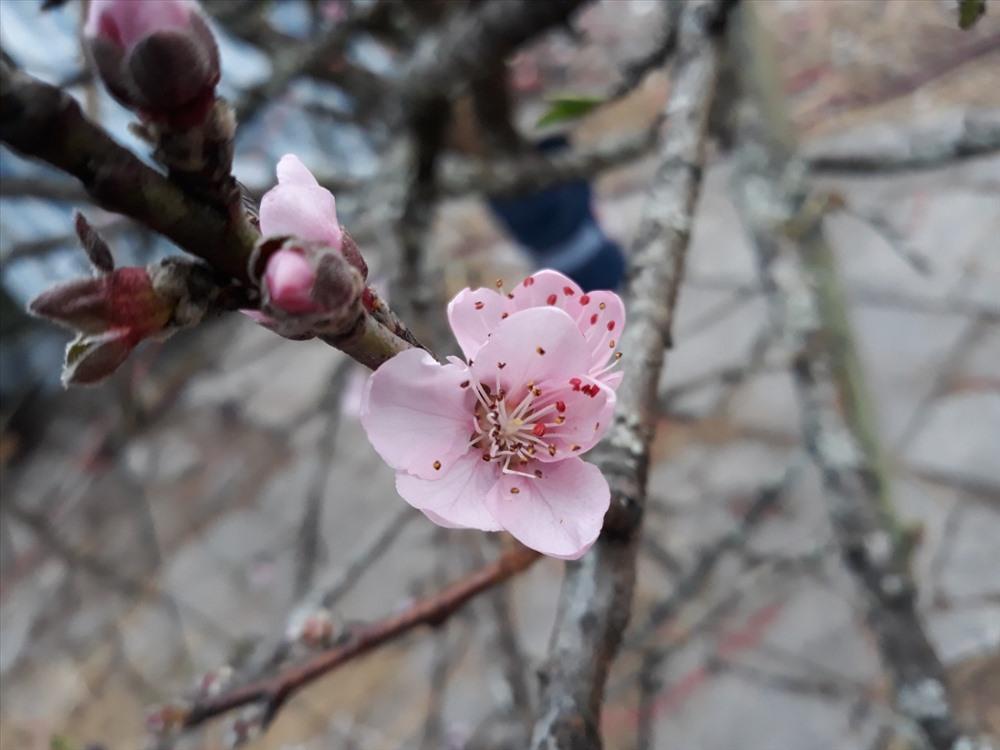 Đào rừng năm nay nở căng, hoa to nên rất hấp dẫn người chơi