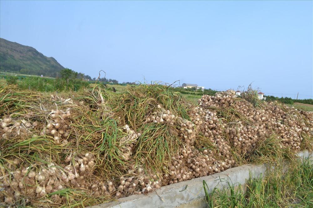 Mùa tỏi chí là thời điểm để du khách tham quan tìm hiểu cây tỏi đặc trưng xứ đảo.