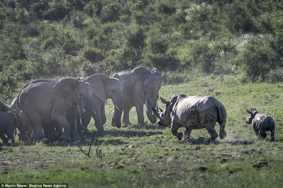 Tê giác giương sừng bảo vệ con, cả đàn voi vội tháo chạy - ảnh 6