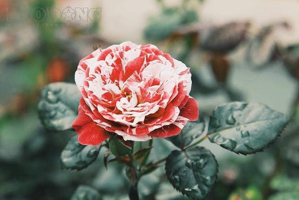 Các giống hồng nhập có tem nhãn để phân biệt loài, xuất xứ. Bulgaria là nước xuất khẩu hoa và chế phẩm từ hoa hồng nổi tiếng thế giới.
