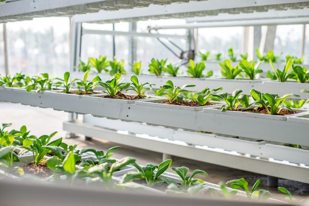 Những sản phẩm của VinEco không chỉ đẹp về màu sắc, hình dạng và còn đảm bảo về độ ngọt và mùi vị theo đúng đặc tính của giống nhờ máng chứa dinh dưỡng được kiểm soát chặt chẽ, nước dinh dưỡng được tuần hoàn liên tục với bể trung tâm để duy trì nồng độ