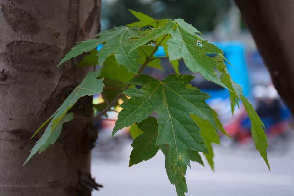 Cây phong lá đỏ là cây ưa khí hậu lạnh. Khi mới bắt đầu đem về trồng tại Việt Nam đã nhận được nhiều quan ngại từ các chuyên gia.