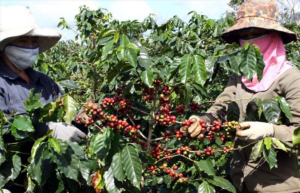 Cây cà phê trĩu quả trên đất đỏ ba-zan dưới chân những đỉnh núi trên dãy Trường Sơn. Ảnh: Hưng Thơ.