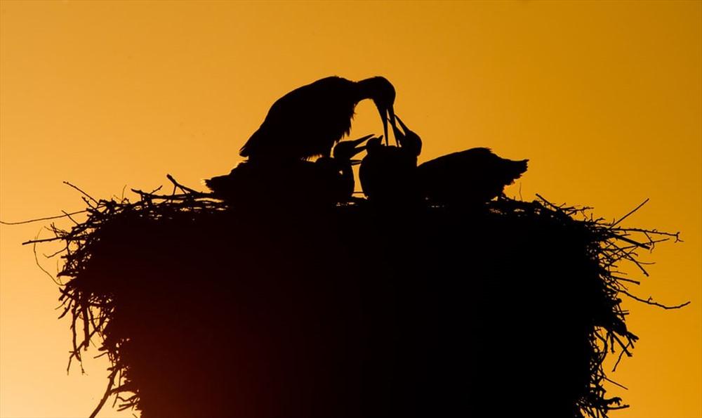 Sau một ngày kiếm mồi, cò mẹ dùng mỏ chia thức ăn cho đàn con. Ảnh: Julian Stratenschulte / AFP / Getty Images.