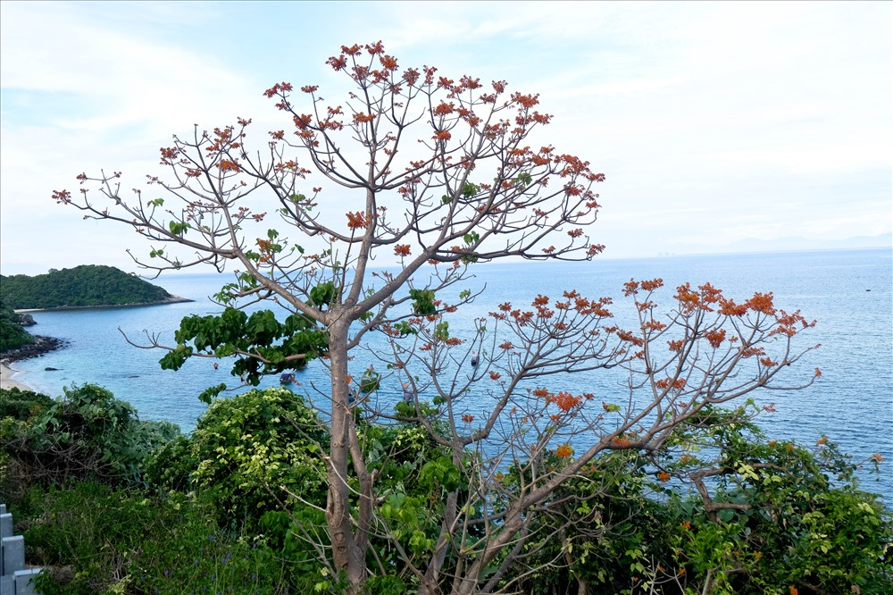 Hoa ngô đồng khoe sắc trên đảo Cù Lao Chàm - ảnh 2