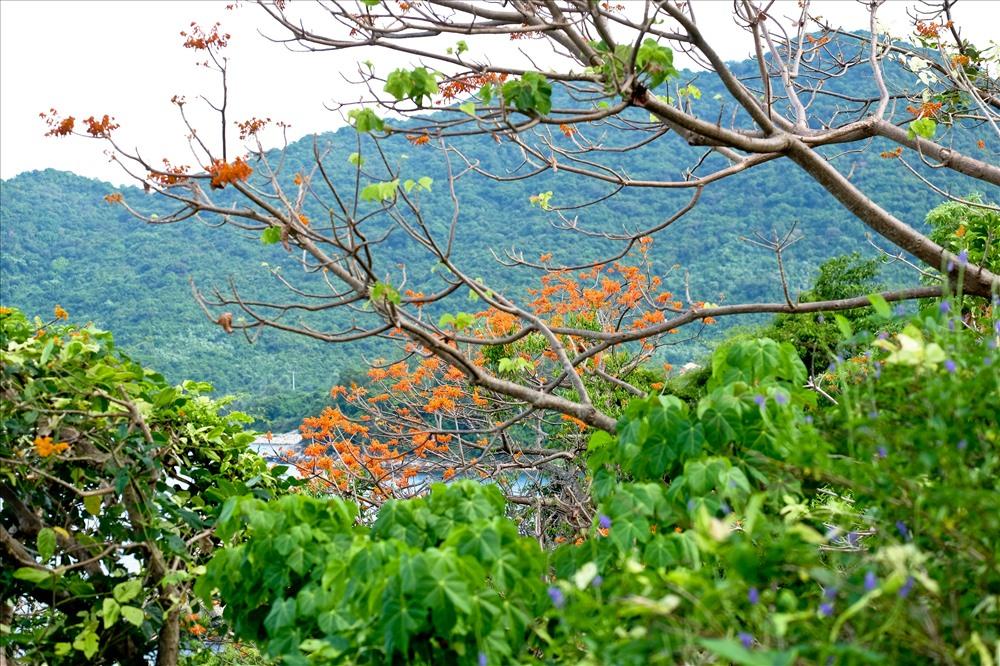 Hoa ngô đồng khoe sắc trên đảo Cù Lao Chàm - ảnh 4