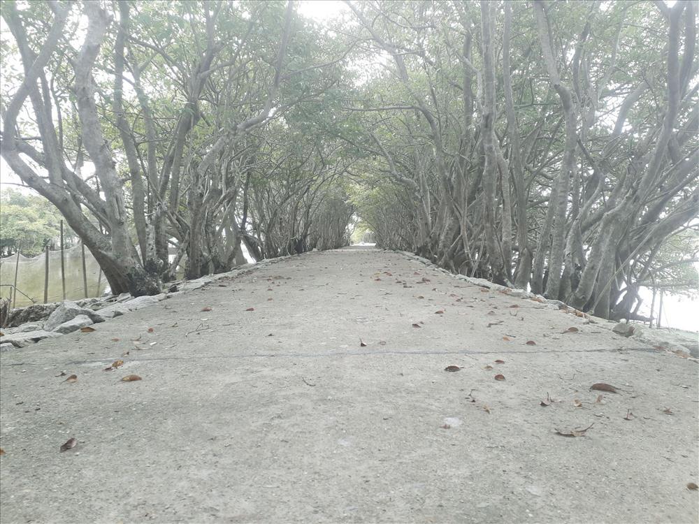 Đến đây chúng ta sẽ được dạo bước giữa những vòm cây Chá đan xen vào nhau. Thả hồn vào thiên nhiên, tận hưởng khung cảnh yên bình và những làn gió mát từ biển.
