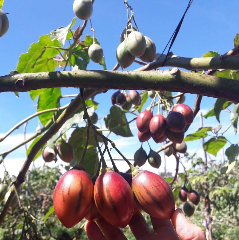 Dù không đắt như cà chua nhập khẩu, nhưng đây là loại cà chua trồng ở Việt Nam có giá đắt đỏ nhất hiện nay.