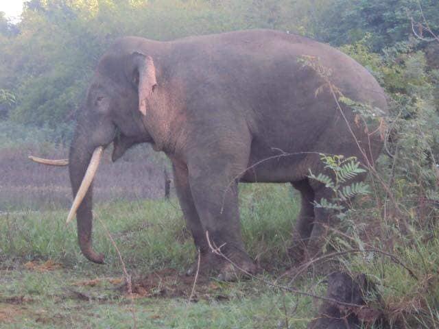 Tháng 7.2018, voi rừng thường xuyên xuất hiện tại khu vực rẫy của người dân để tìm kiếm thức ăn, làm hư hại nhiều diện tích hoa màu như chuối, xoài, bưởi, gây thiệt hại hàng trăm triệu đồng của người dân ấp 7, xã Thanh Sơn, H.Định Quán.