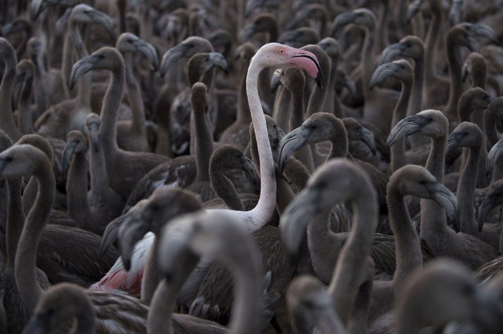 Hồng hạc trên hồ Fuente de Piedra ở Tây Ban Nha - Ảnh: AFP