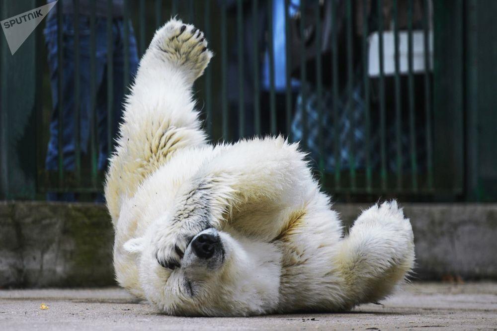 Gấu trắng trong vườn thú Matxcơva - Ảnh: Sputnik