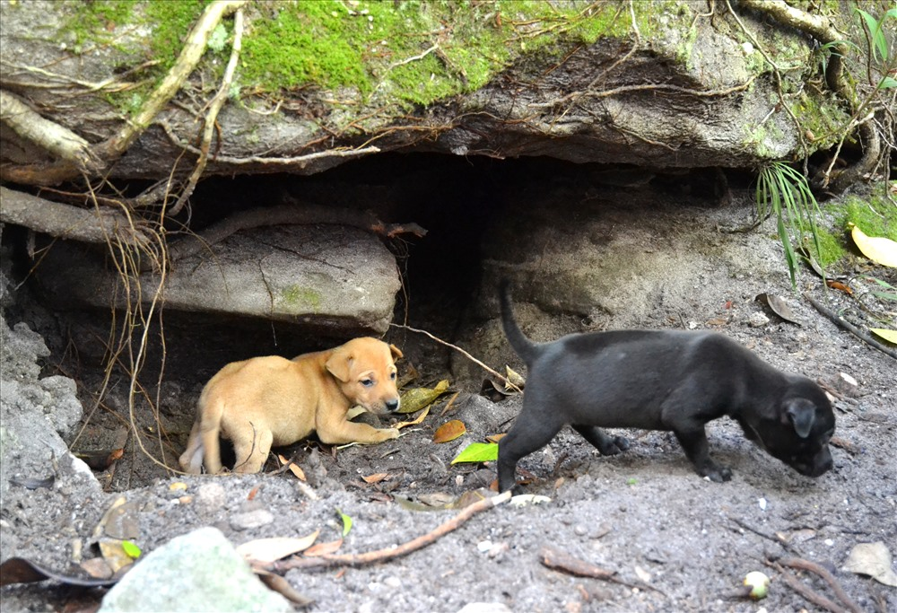 Chó Phú Quốc thường tự đào hang để sinh con. Ảnh: Lục Tùng