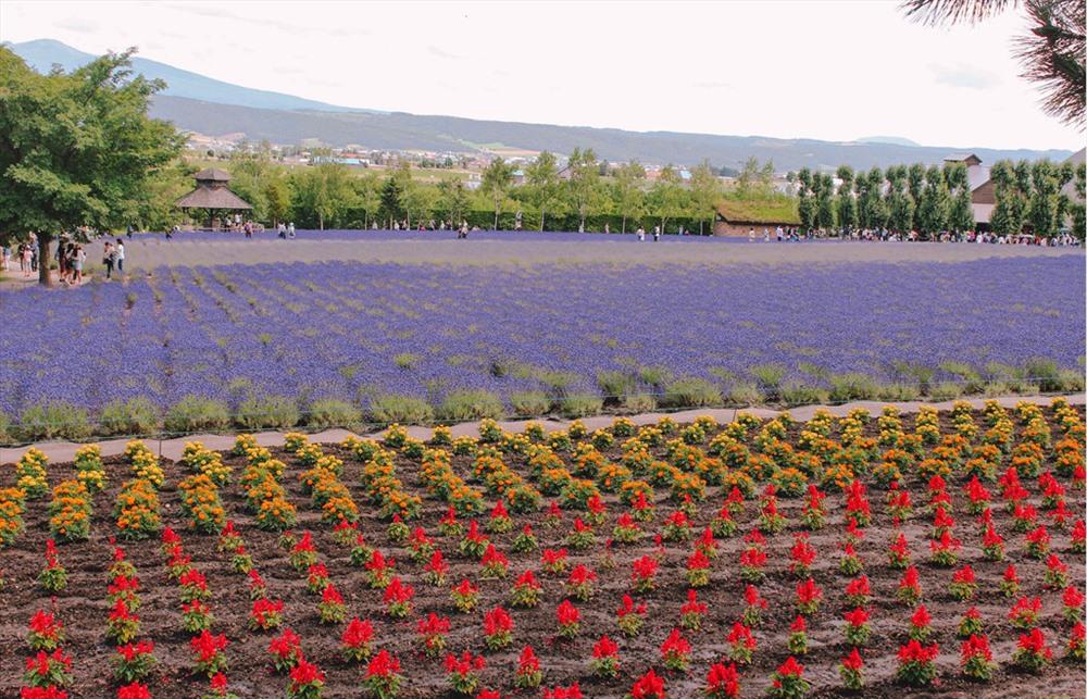 Cánh đồng oải hương được chia ra khá nhiều khoảnh trên mặt đất bằng phẳng, với nhiều khu trồng các loại hoa khác, tạo nên một dải cầu vồng bằng hoa.