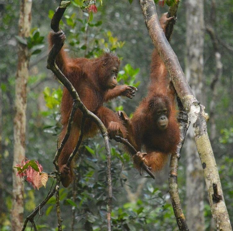 Vườn quốc gia Tanjung Putting.