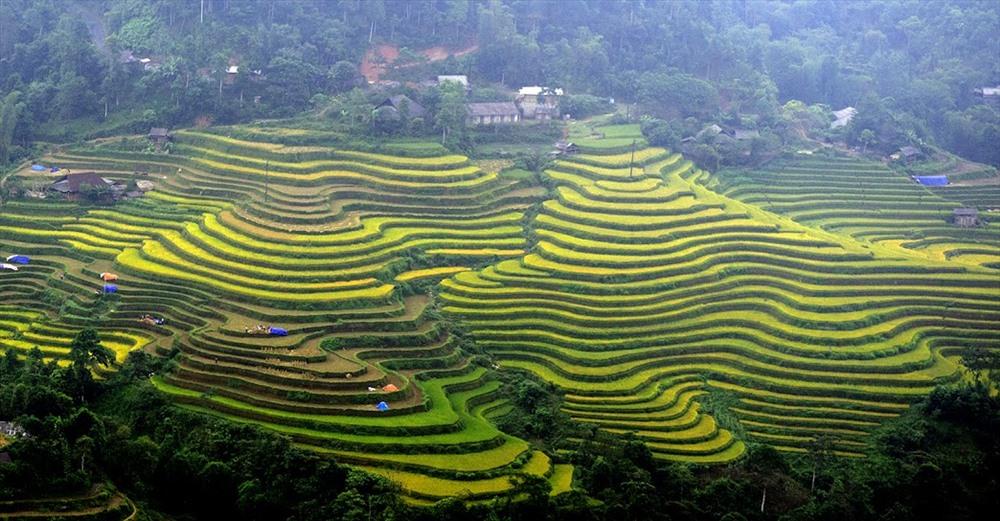 Lúa vàng rẻo cao Hoàng Su Phì
