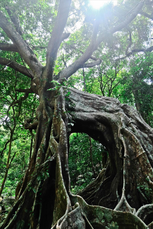 Cây đa con nai nằm giữa rừng bán đảo Sơn Trà