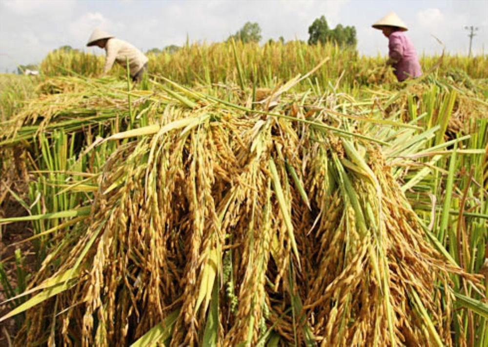 Việt Nam chú trọng nâng cao chất lượng gạo, giảm dần số lượng để đạt giá trị kim ngạch xuất khẩu cao hơn. Ảnh: PV