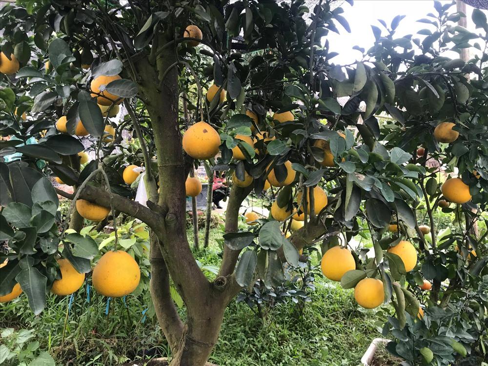Vườn bưởi Diễn, cam canh, cam Xã Đoài của anh Vinh