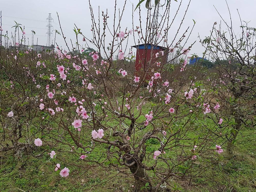 Đào đang bắt đầu nở rộ trên các cánh đồng trồng đào ở Hải Phòng.