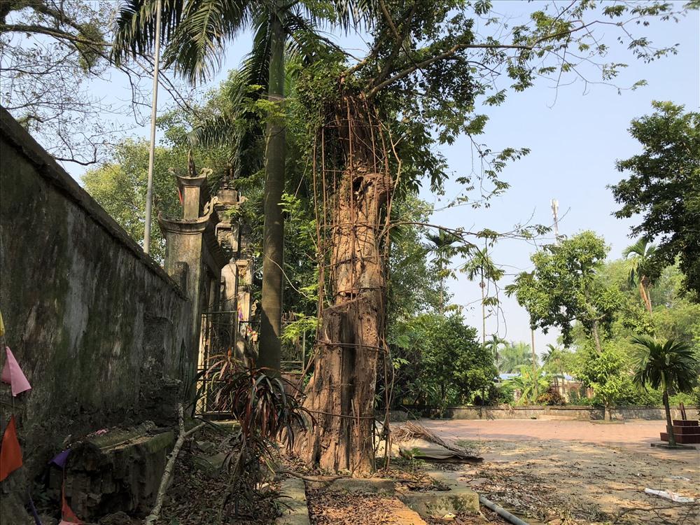 Cây sưa đỏ ở chùa thôn Phụ Chính giờ cao khoảng hơn 4m, đường kính gốc cây khoảng 1m, cây đang có dấu hiệu mục thân. Ảnh: Thành Trung
