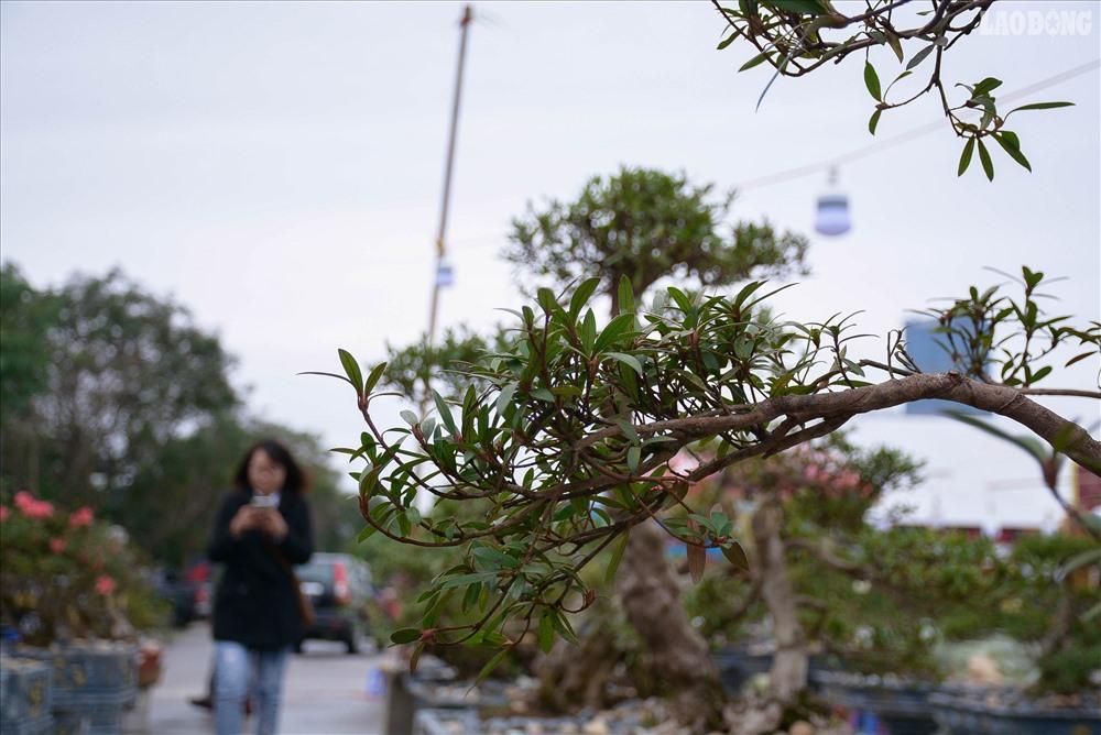 Theo đó, hiện nay hầu hết các loại đỗ quyên ở Sa Pa đều có nguồn gốc từ xứ lạnh như Nhật Bản, Trung Quốc, thích hợp với nhiệt độ lạnh, trên núi cao, khi di chuyển xuống các nơi khác sẽ rất khó thích ứng. Tuy nhiên, cây đỗ quyên cổ thụ 400 năm là giống cây từ xứ nóng nên đặc biệt hiếm có, có thể sống ở mọi loại thời tiết.