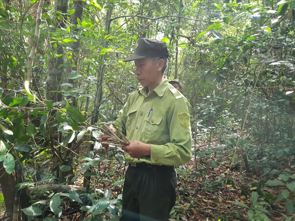 Kiểm lâm viên Mai Văn Hòa cắt vài cành hồng tra để về giâm tại Vườn Quốc gia Yok Đôn.