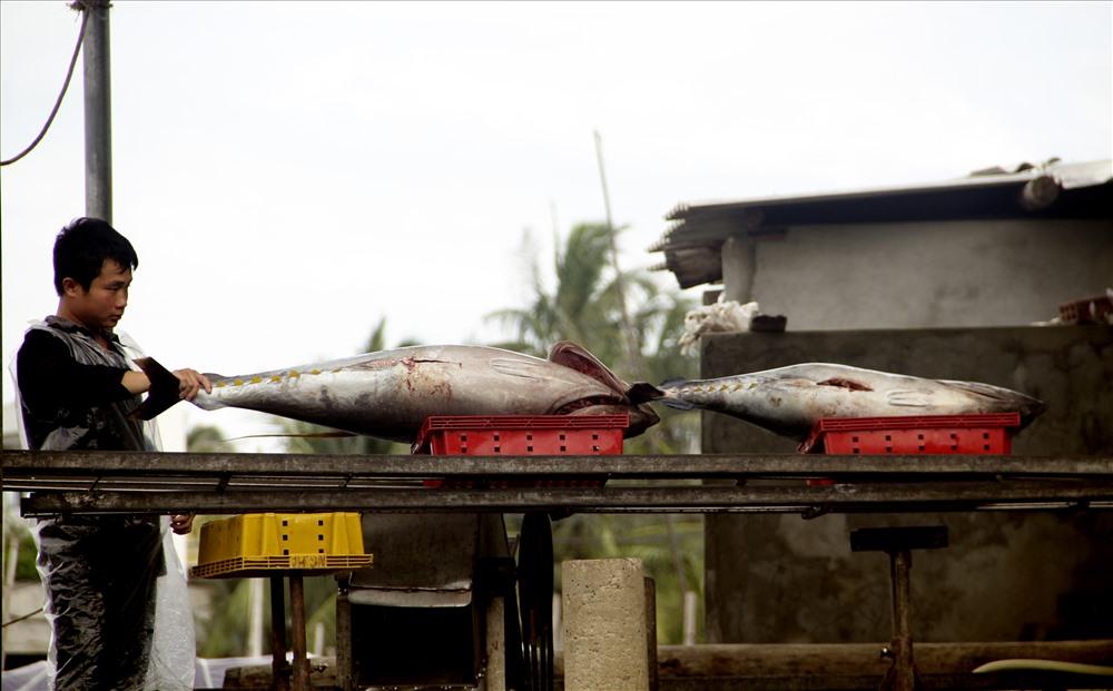 Hiện nay, trung bình mỗi con cá ngừ đại dương nặng từ 30 - 50kg.