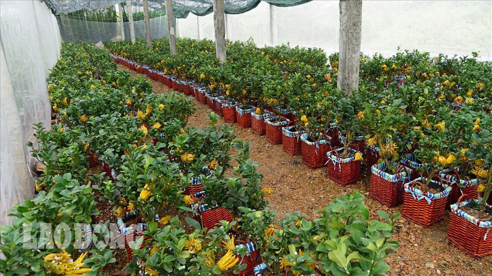 Phật thủ bonsai suất hiện trên thị trường trong khoảng vài năm trở lại đây và đã trở thành thú chơi của nhiều gia đình trong dịp Tết.
