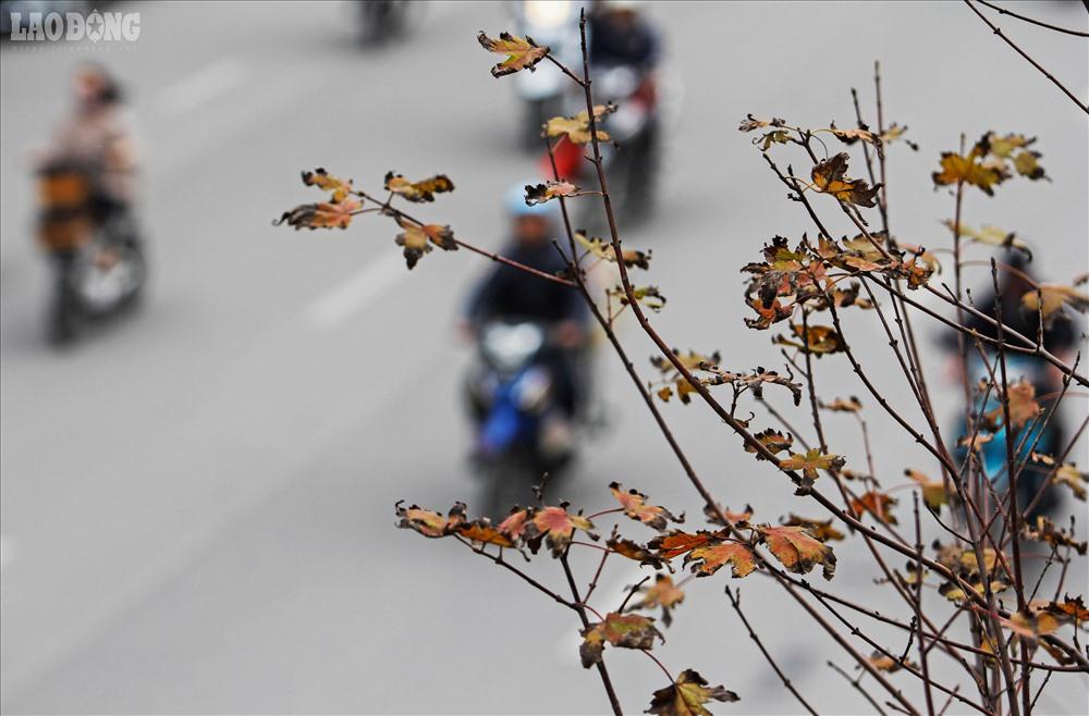 Những chiếc lá còn bám trụ trên cành có kích thước nhỏ, phần mép lá có dấu hiệu khô quắt, héo úa.